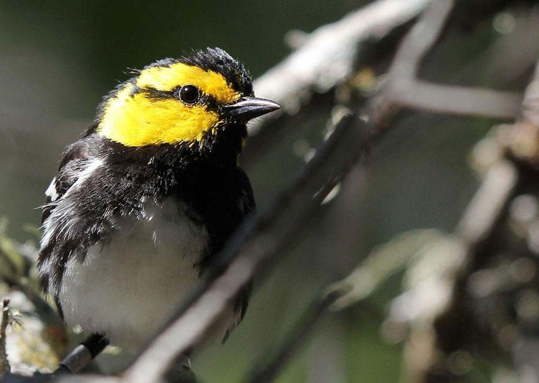 golden cheek warbler 1